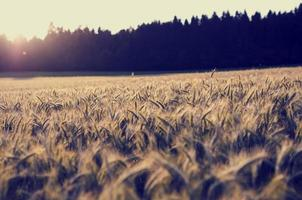 soluppgång över ett fält med mogna veteöron
