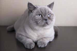 british korthår katt foto
