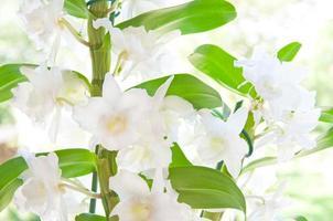 närbild av en vacker vit cattleya orkidé
