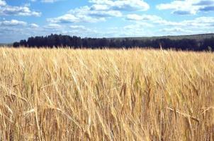 lantligt landskap med rågfält sommardag