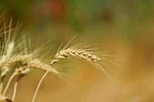 öron av vete på suddig sommarbakgrund foto