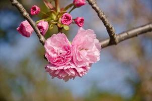 sakura: körsbärsblommablomma på träd
