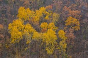 gyllene löv på gren, höstträ