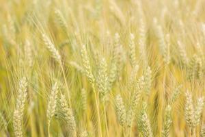 kornfält foto