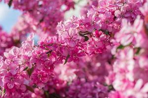 paradisets äppelträd blommar, foto