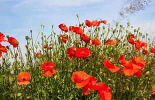 närbild av vallmo i olika tillväxt- och blomningsstadier foto