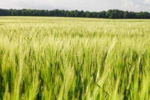 grönt vete på fältet foto