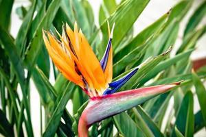 färgglad, exotisk strelitzia blomma foto