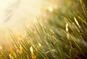 fält av vete upplyst av morgonsolen foto