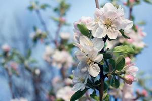 blommande äppelträd. varm färg tonad bild foto