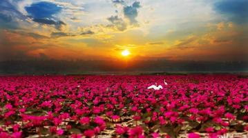 solsken stigande lotusblomma i Thailand foto