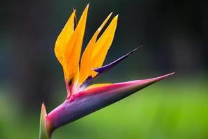 strelitzia blomma foto