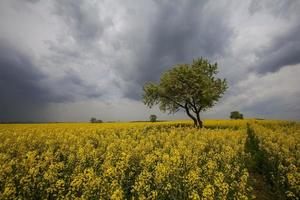 gult fält