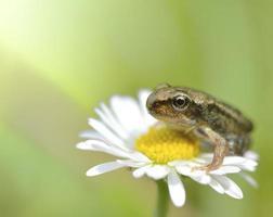 liten groda som sitter på en blomma.