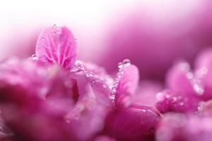 regndroppar på blad rosa blommor cercis