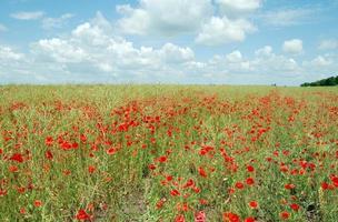 fält av röda vallmoblommor
