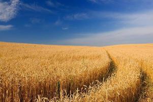 mogna gyllene veteöron i fältet