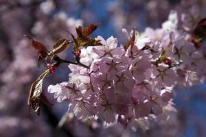 körsbärsträdblomma foto