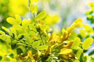 vårfilial och blomma av akacia över bokehbakgrunden foto