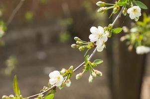 det blommande körsbärsträdet på solig vårdag
