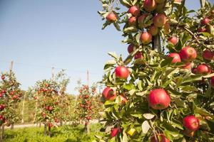 träd fullt av äpplen med andra träd i bakgrunden