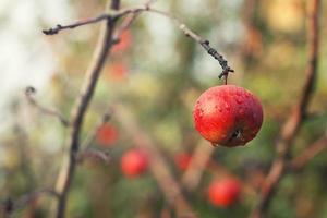 rött äpple på grenen