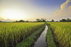 vackert risfält i Thailand foto