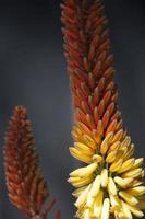 orange aloe blomma