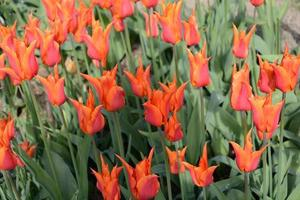 röda och orange tulpaner