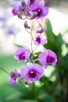 blå orkidé foto