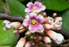 blommor av carambola, foto