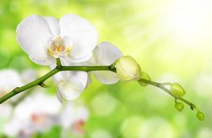 vit orkidé foto