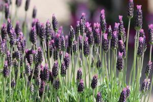 franska lavendelblommor foto
