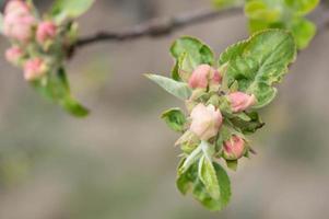 knoppar av blommor och små löv på ett äppelträd