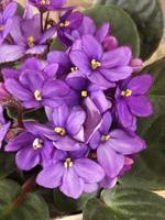 saintpaulia blommor foto