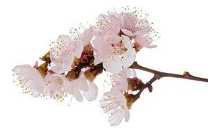 aprikosblomningsbrunch foto