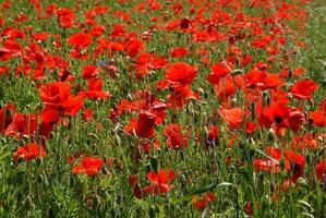 blommor av vallmoröd på ett fält