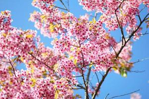 thailändsk sakura blomma Chiang Mai Thailand