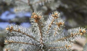 grenar av blå gran