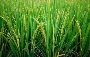 ris på ett fält
