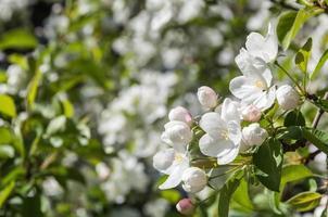 vita blommor äppelträd