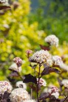 sommarblommande vin niobark (physocarpus opulifolius) foto