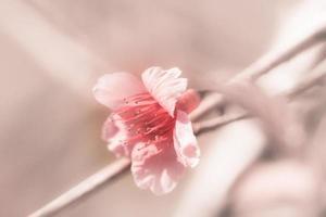 närbild rosa körsbärsblom foto
