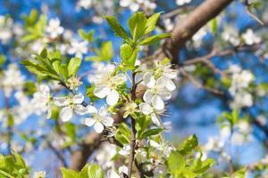 blommande plommonträd