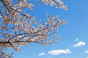 körsbärsblom i tokyo foto