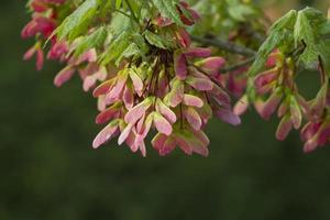 alabama sycamore fröskidor bakgrund - platanus occidentalis