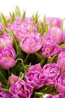 vackra lila tulpaner