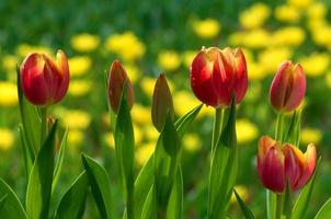 röda tulpanblommor foto