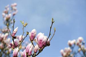 vackra rosa magnolia blommor foto