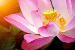 rosa lotusblomma blommar